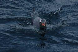 Gentoo penguin. Photo