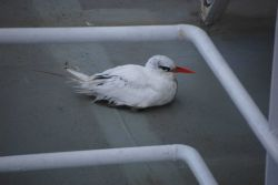 Red-tailed tropic bird. Photo