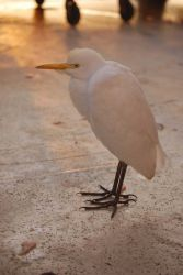 Cattle egret. Photo