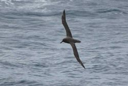 Sooty albatross. Photo