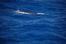 Bryde's whale. Photo