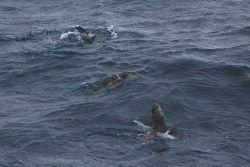 Antarctic fur seals. Photo