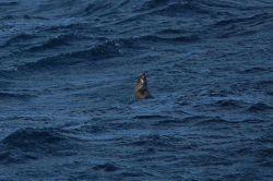 Jumping Antarctic fur seals. Photo