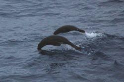 Jumping Antarctic fur seal. Photo