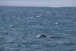 Humpback whales. Photo