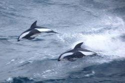 Hourglass dolphins. Photo