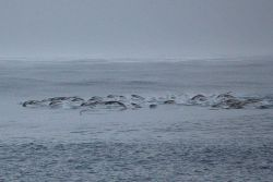 Southern right whale dolphins. Photo