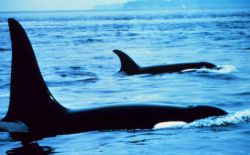 Killer whales - Orcinus orca - note blow hole in nearest animal. Photo
