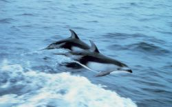 Pacific white-sided dolphin leaping Photo