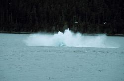 Splash as humpback - Megaptera novaeangliae - hits the water after breaching. Photo