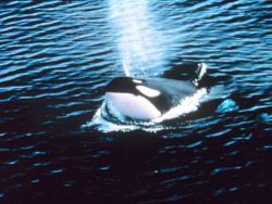 Killer whale blowing - Orcinus orca. Photo
