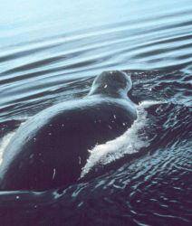 Bowhead whale. Photo