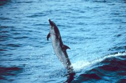 Pantropical spotted dolphin skipping on its tail over the water Photo