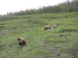 Alaska Brown Bears. Photo