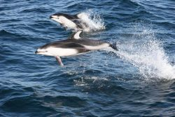 Pacific white-sided dolphin (Lagenorhynchus obliquidens). Photo
