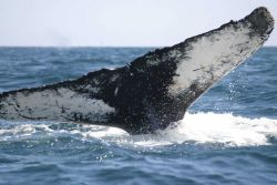 Humpback whale flukes - used to identify individuals of this species. Photo