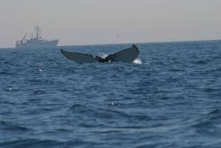 Humpback whale flukes - used to identify individuals of this species Photo