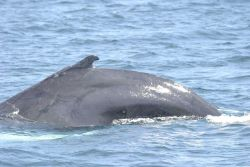 Humpback whale. Photo