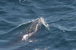 A rorqual whale photographed while beginning to surface. Image