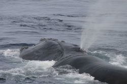 North Atlantic right whale blowing Photo