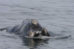 Head of North Atlantic right whale. Photo