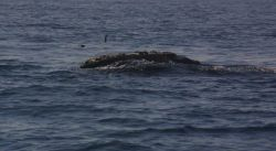 Gnarly-headed right whale Photo