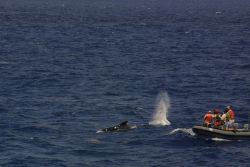 Scientists taking aim on pilot whale with cross-bow used to obtain tissue sample . Photo
