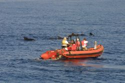 Scientists off NOAA Ship Delaware II taking tissue samples of pilot whales. Photo