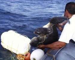 Bringing sea turtle aboard DAVID STARR JORDAN for study. Photo