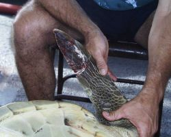 Inspecting damaged fin of injured sea turtle. Photo