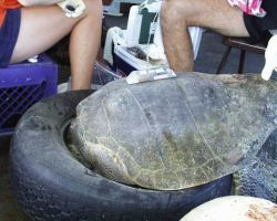 Satellite transmitter placed on sea turtle prior to release Photo