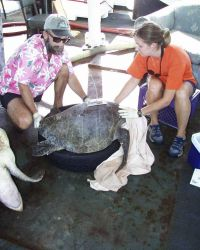 Scientists securing sea turtle after placing satellite transmitter on back. Photo