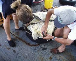 Taking samples from sea turtle for study of blood chemistry, genetics, etc. Photo