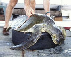 Measuring sea turtle as part of observed parameters prior to release. Photo
