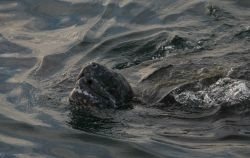 Large leatherback turtle swimming with snout out of water. Photo