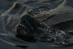 Snout of large leatherback turtle. Photo