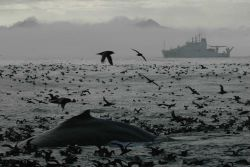 A magnificent profusion of life as a humpback whale surfaces amidst thousands of seabirds Image