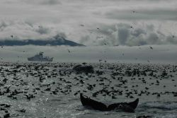 A magnificent profusion of life as a humpback whale dives amidst thousands of seabirds Photo