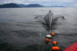 A satellite-tagged humpback whale entangled in gillnet surfaces in Chatham Strait while a rescue team prepares to cut it free. Photo