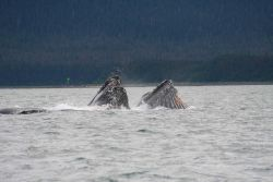 Humpback whales engage in cooperative lunge-feeding near Auke Bay, Alaska. Photo