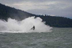 A humpback whale lands in the water after breaching near Auke Bay, Alaska. Photo