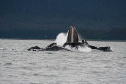 Lunge feeding humpback whales in Alaskan waters. Photo
