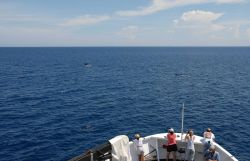 A pod of sperm whales off the bow of the DAVID STARR JORDAN. Photo