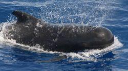 Pilot whale. Photo