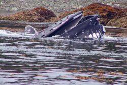 A humpback whale feeding on YOY pollock. Photo