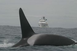 A killer whale crossing the bow of the NOAA Ship McARTHUR II. Photo