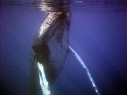 Curious humpback whale inspecting diver. Photo