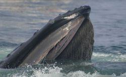 Humpback whale feeding Photo