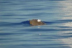 Satellite transmitter on back of beaked whale. Photo