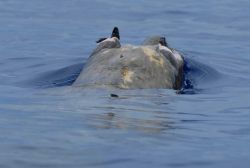 Head of beaked whale from behind. Photo
